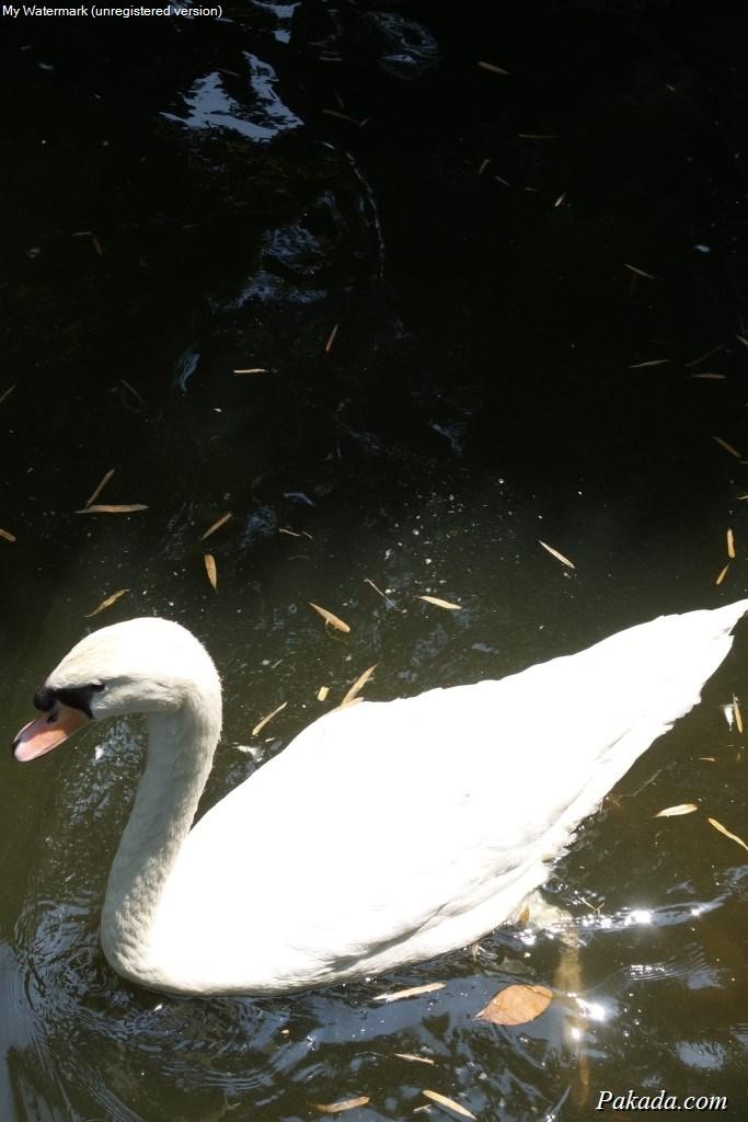 หงส์สีขาวในบ่อน้ำ ภายในสวน